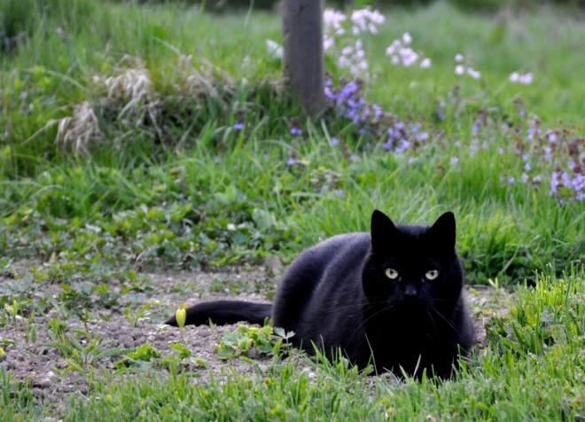 Katt som jagar rådjur i trädgården, not.