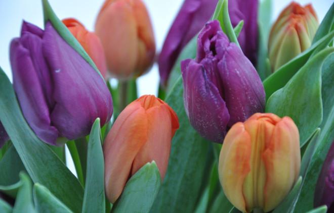 Tulpanerna håller länge i vas om du sköter dem rätt.