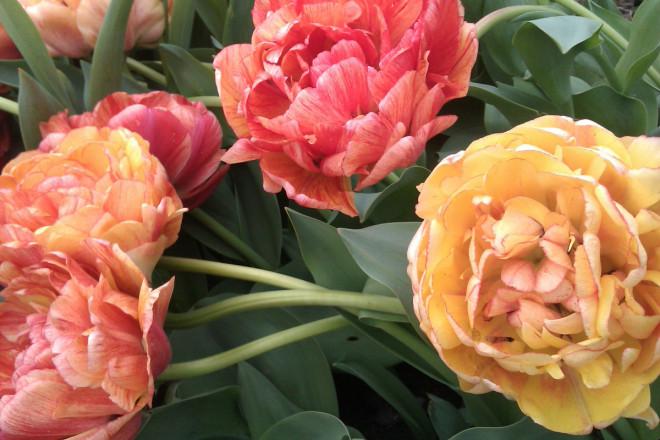 Långstjälkiga tulpaner kostar lite mer, men är mycket stiliga.