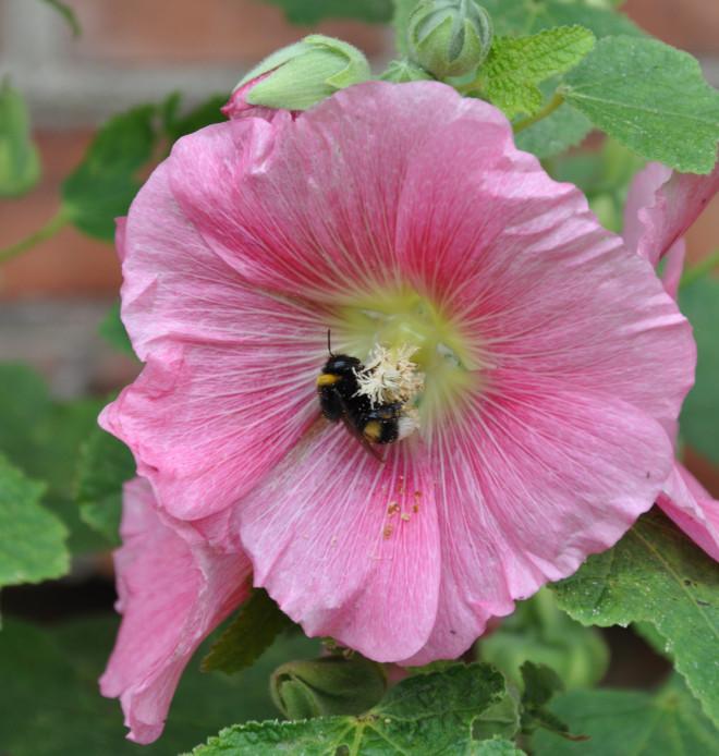 Äldre storckrosor kan vara motståndskraftigare mot sjukdomen än unga plantor.