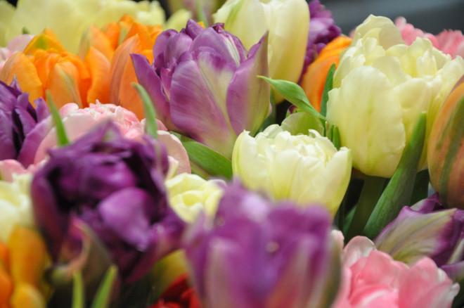 Tulpanerna är fräscha snittblommor som håller länge om man sköter dem rätt.