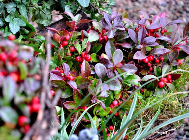 Tuvvaktelbäret växter isur jord med torvinnehåll.