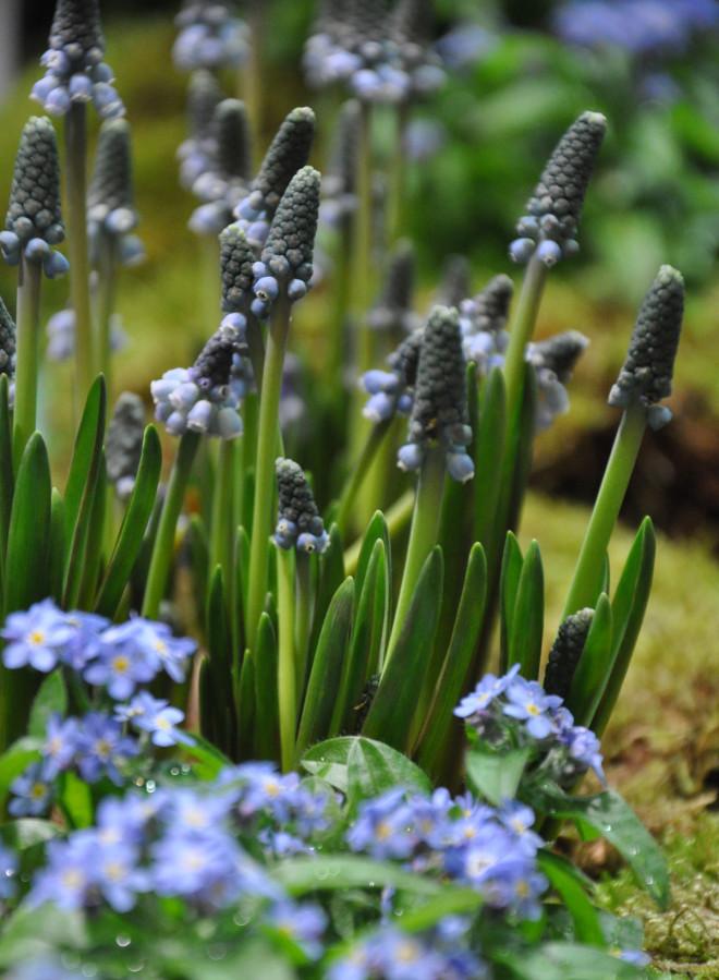 Ljust blå eller vita pärlhyacinter gör sig fint i vårrabatten.