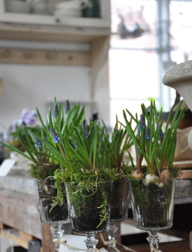Pärlhyacinter kan stå inomhus.