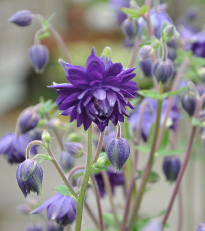 Aklejan har traditionsenligt blå blommor.