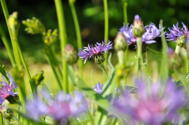 Bergklinten blommar snabbt över men har en klar blå färg.