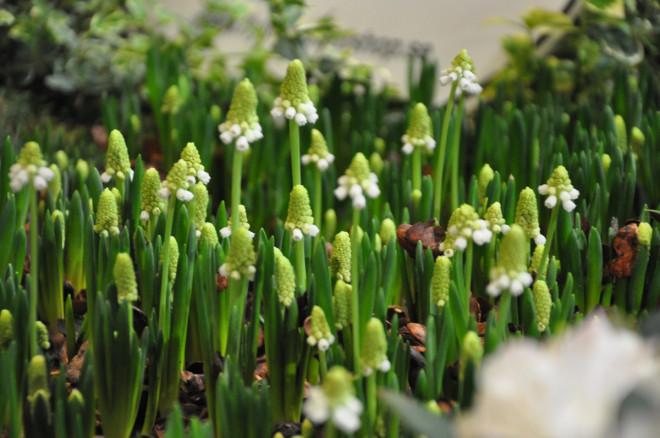 Pärlhyacinter är inga krävande växter.