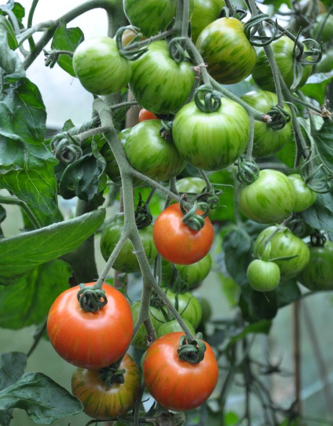 Tomaten Tigerella är en bra sort!