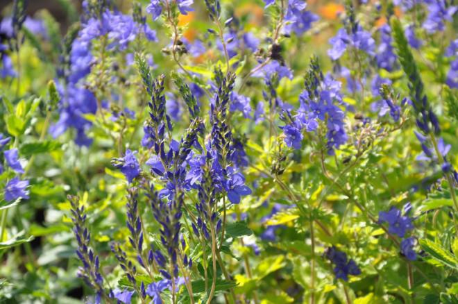 Veronikor härstammar från bergstrakter eller ängsmarker.