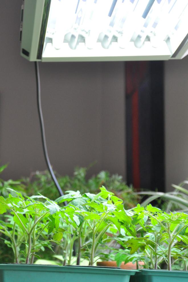 Tomatplantor kräver extraljus från lysrör vid uppdragning.