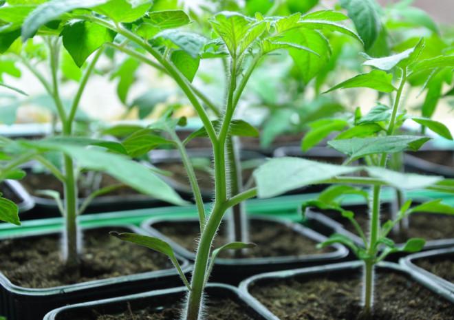 Tomatplantor måste odlas ljust och gärna med extrabelysning.