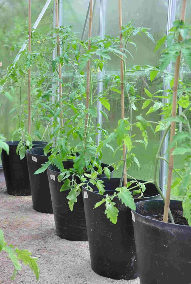 Tomatplantorna flyttar ut när nattemperaturen ligger på ca 10 grader.