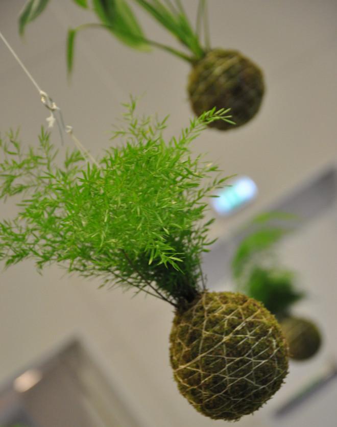 Japanska mossbollar för odling av växter inomhus hängande i fönstret.