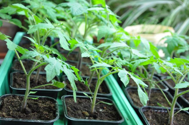 Efterhand växer tomaterna och lampan flyttas uppåt.