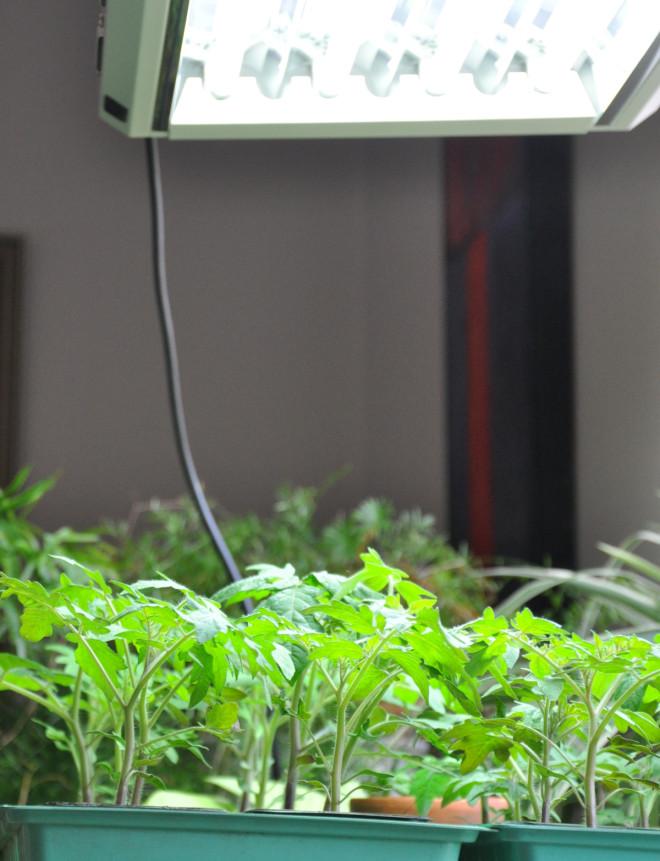 Tomatplantorna behöver mycket ljus.