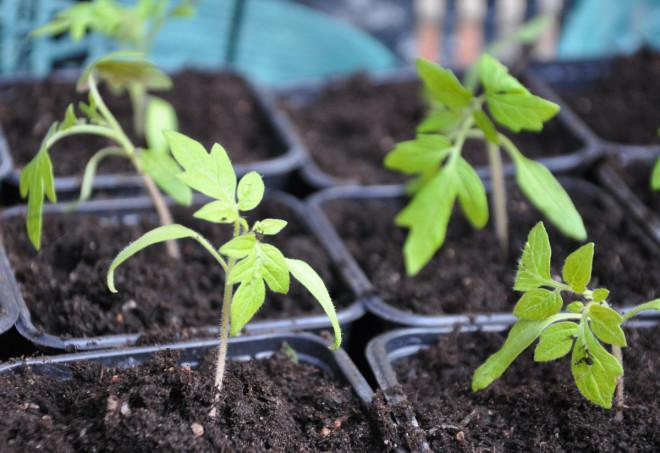 Tomatplantorna skolas i större krukor efterhand.