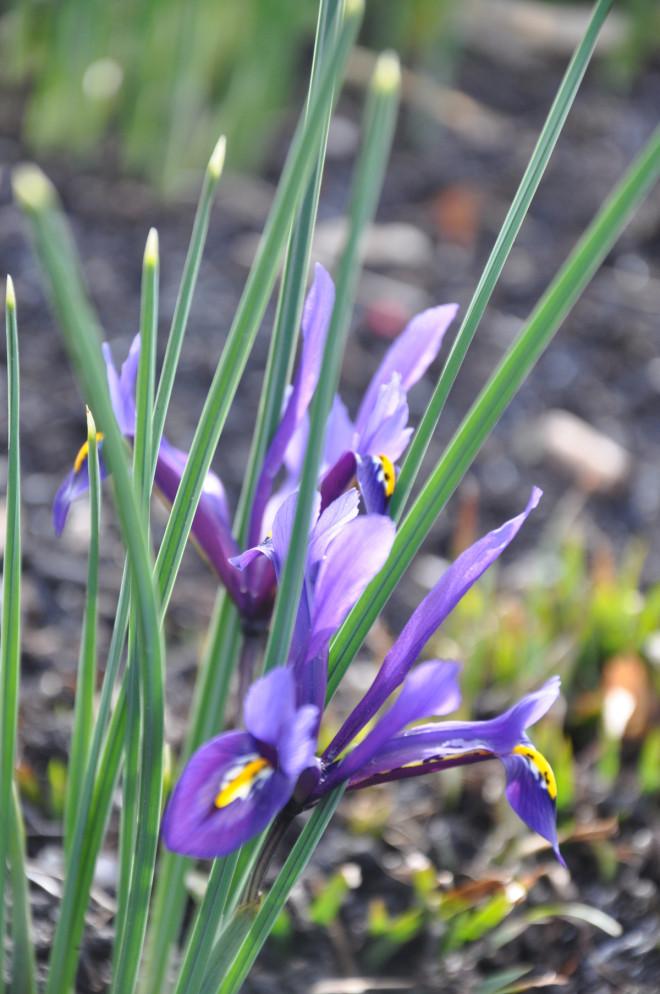 Irisar vill ha en solstekt och helt torr växtplats om sommaren.