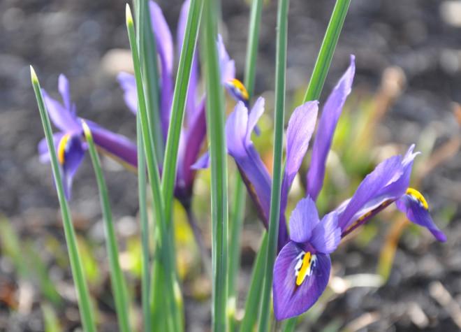 Våririsen blommar samtidigt med snödroppar och vintergäck.