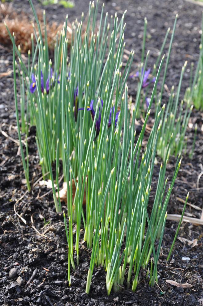 Iris är en lökväxt som blommar mycket tidigt om våren.