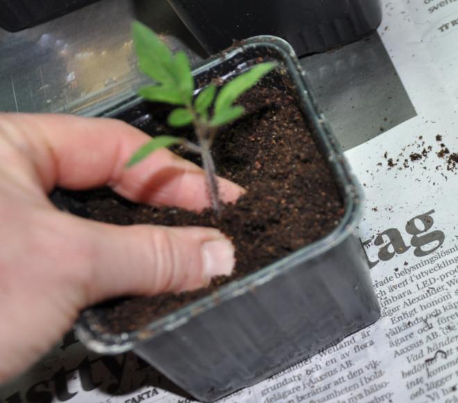 Sätt plantan ända nere i botten av den nya krukan.