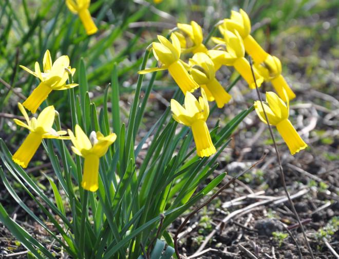 Många påskliljor är lättodlade och blomvilliga.