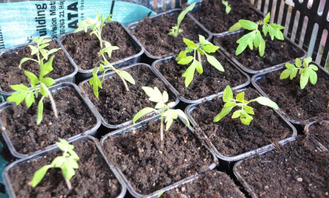 Tomatplantor kräver mycket ljus för att bli knubbiga och fina.
