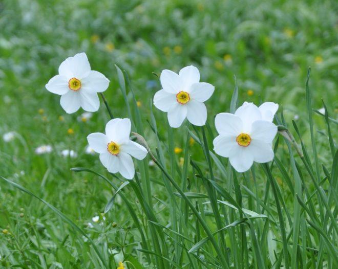 Narcisser passar utmärkt för förvildning i gräsmatta och parkmark.