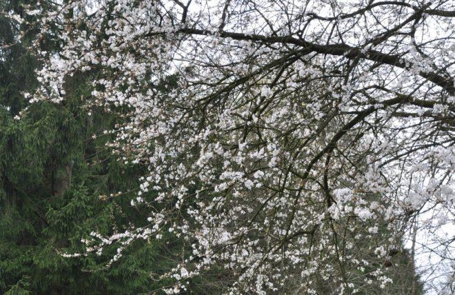 Vitblommande träd med små blommor är körsbärsplommon.