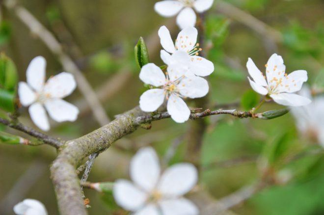 Små söta doftande blommor har körsbärsplommon.