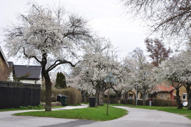 Körsbärsplommon har tätt med vita, doftande blommor.
