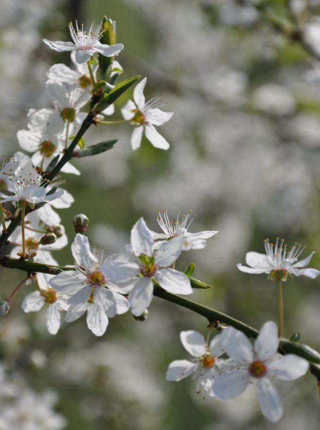 Blommorna är vita och doftande hos körsbärsplommon.
