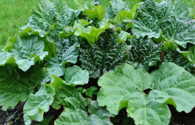 Rabarberplantor kan angripas av bladlöss vid torka.