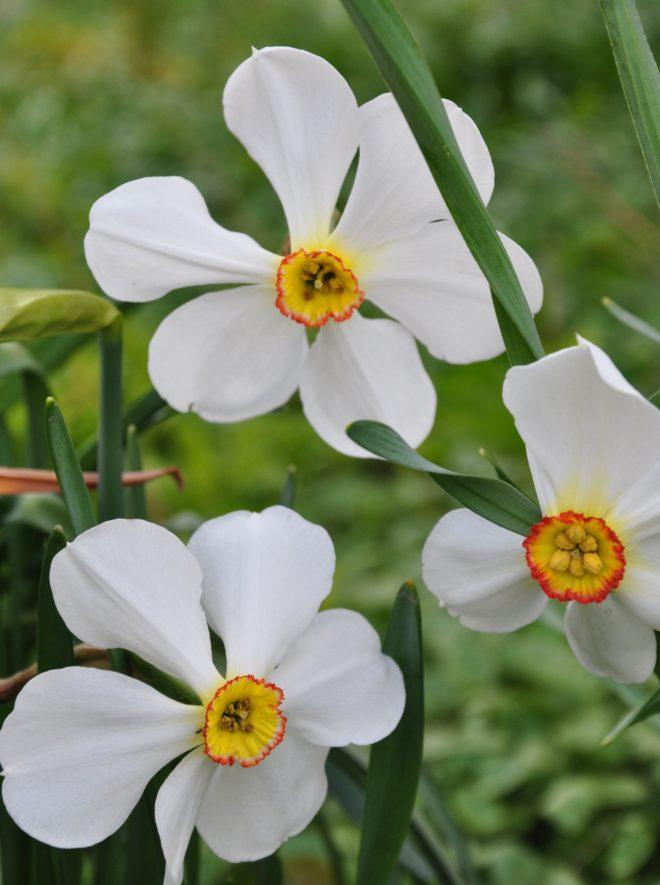 Narcisser och pingstliljor är tacksamma att ha i trädgården.