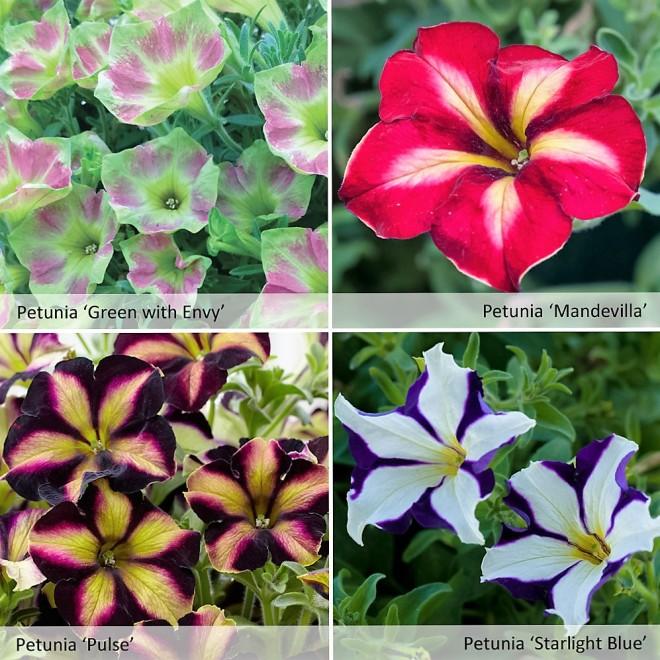 Petunior finns i osannolika färgkombinationer.