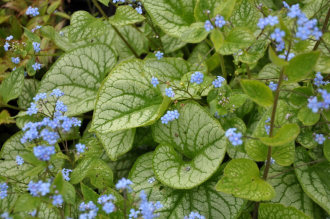 Brunneror har dekorativa blad och trivs i lätt skuggiga miljöer med god markfukt.