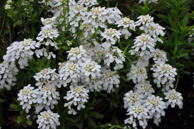 Vinteriberis blommar tidigt om våren med vira blomkvastar.