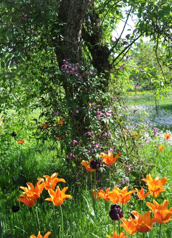 Tulpanerna blommar i maj.