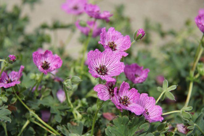 Blommorna hos Jolly Jewel har ådrade kronblad och starka färger.