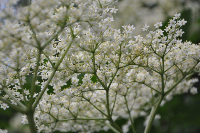 Fläderns blomklasar doftar gott.
