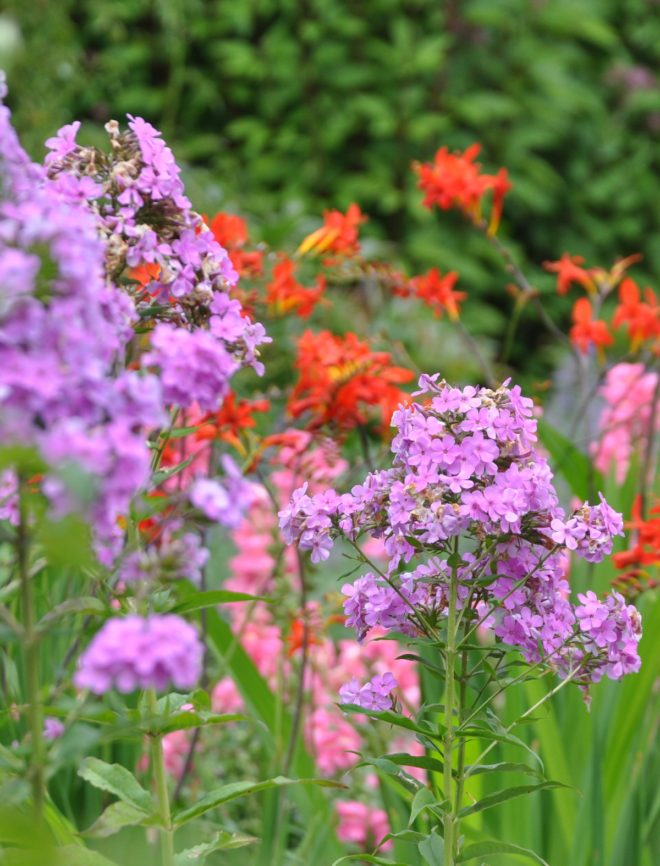 Färgskalan hos flox går i rosa nyanser samt lila och vitt.