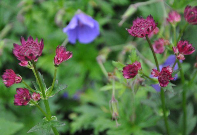 Rosa och röda toner är stjärnflockans blommor.