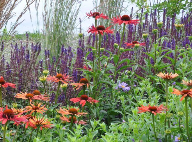 Salvian planteras ihop med andra torktåliga växter.