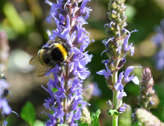 Salviorna är bra nektarväxter för bin och humlor.