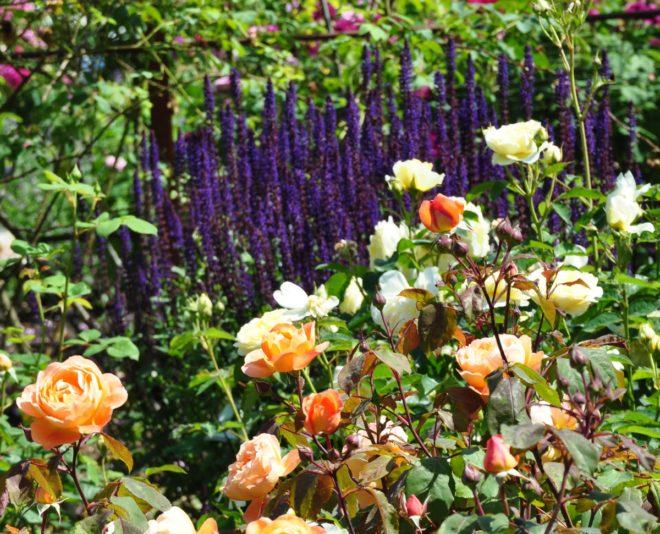 Salvian kan samplanteras med rosor eller andra perenner.