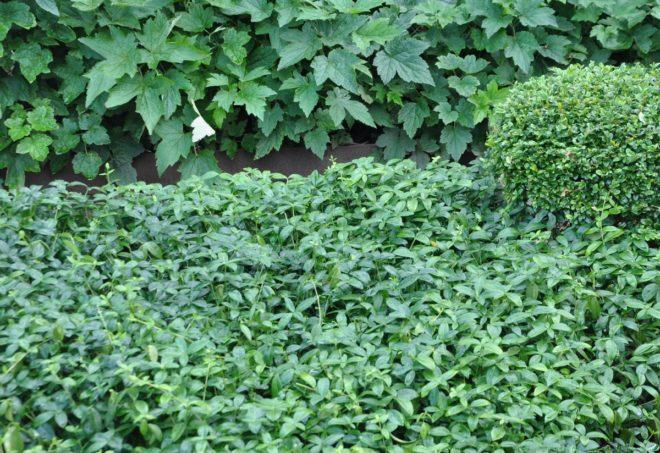 Vintergröna täcker marken och sprider sig villigt.