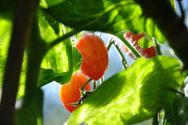 Att odla tomater är otroligt belönande. De ger massor av frukt om du vattnar dem noga.