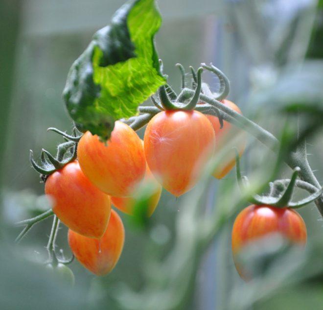 Tomater finns i olika storlekar och färger.