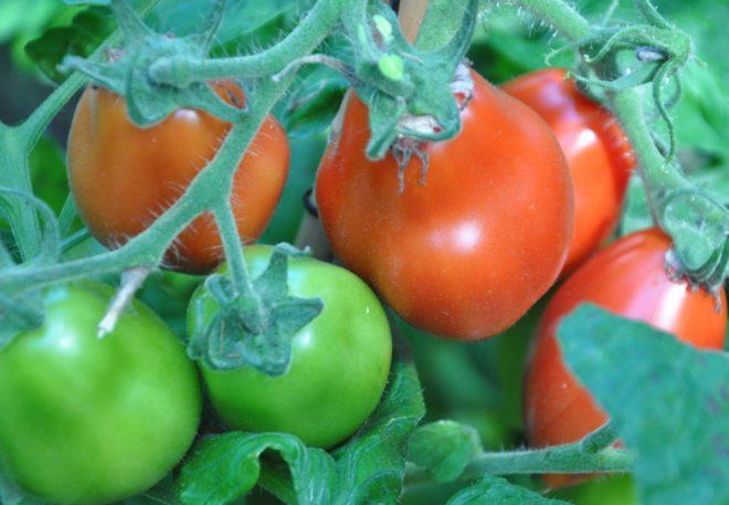 Tomater kan ätas i sallad eller på smörgåsen.