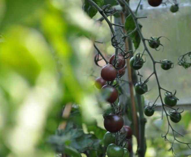 Tomater finns i många olika färger och storlekar.