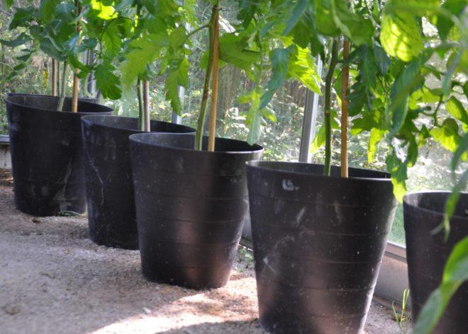 Odla i kruka är bekvämt då man kan byta jord varje år.